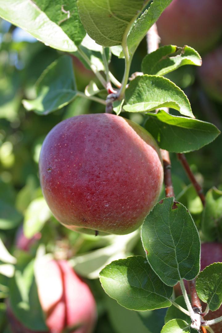 applelr-bdea