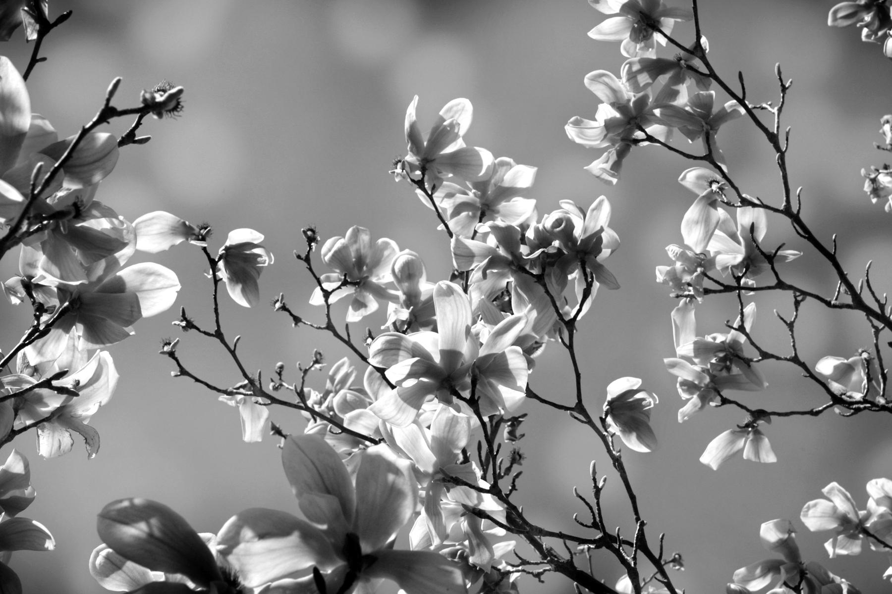 magnolialr-be01